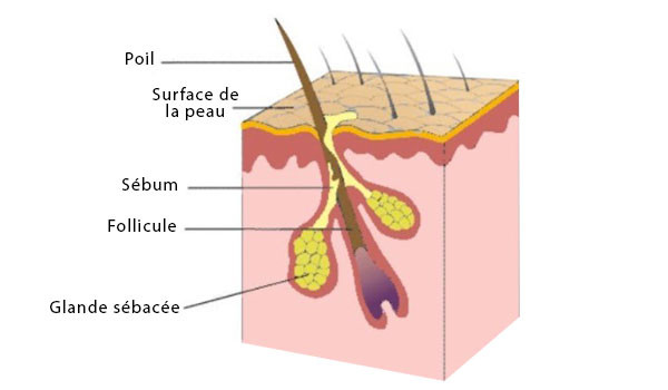 sécrétion du sébum sur un follicule pileux